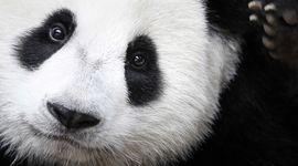 Il panda non è più considerato a rischio estinzione!