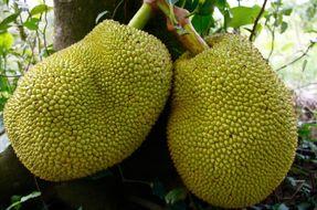 Il frutto che potrebbe salvare il mondo: il jackfruit