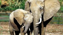 Buone notizie per gli elefanti: Hong Kong bandisce l'avorio