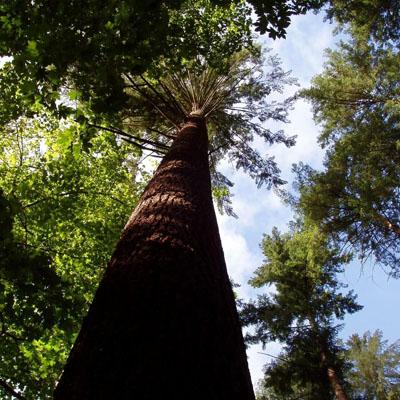 Douglas Mature - Forêt de Brokus