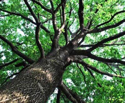 Chêne sessile (40 à 45 ans) - Forêt du Morvan (56)