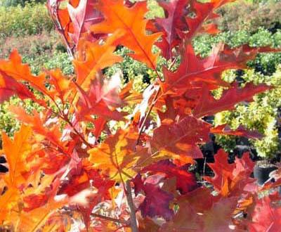 Chêne rouge (Plantation à venir) - Forêt du Morvan (56)