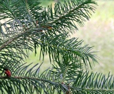 Douglas (Plantation à venir) - Forêt du Morvan (56)