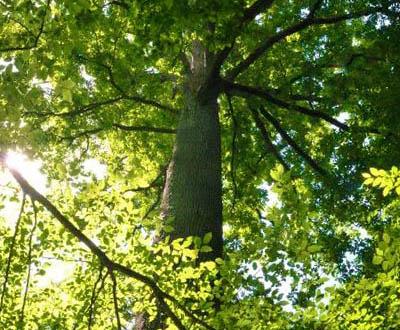 Chêne pédonculé (Futaie irrégulière) - Forêt de Pézarches (77)