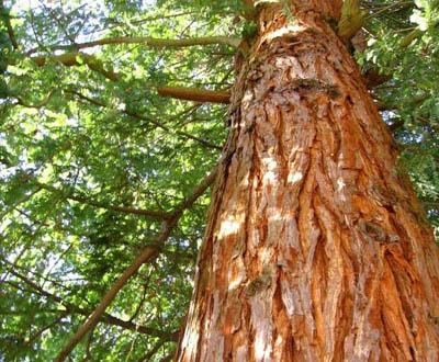Thuya géant (Plantation à venir) - Forêt de Kerautret (56)