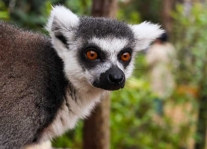 Lemurs at ZSL London Zoo