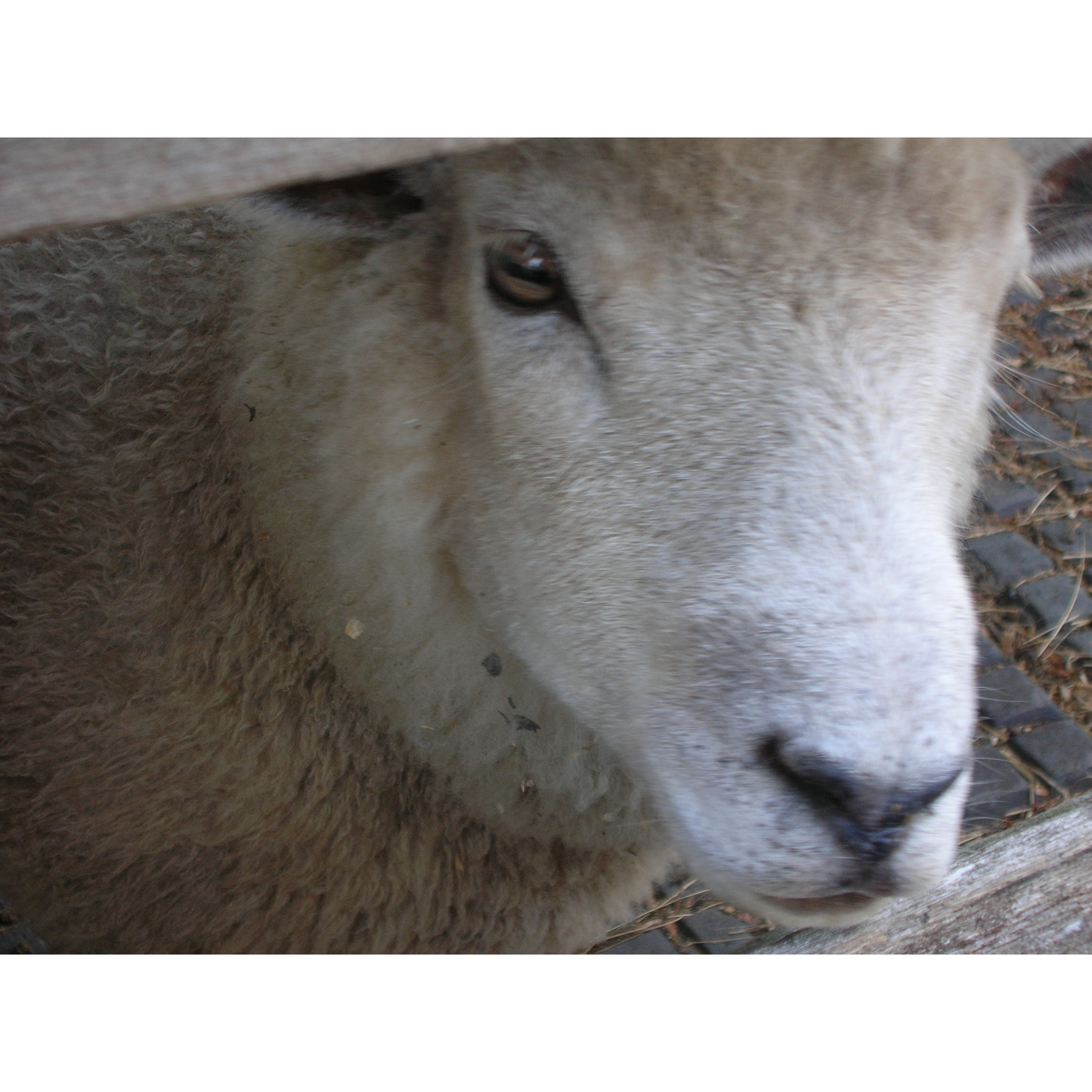 Sheep Ahoy Sheep Rescue