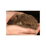 Hedgehog Bottom