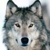 Coach Wolf