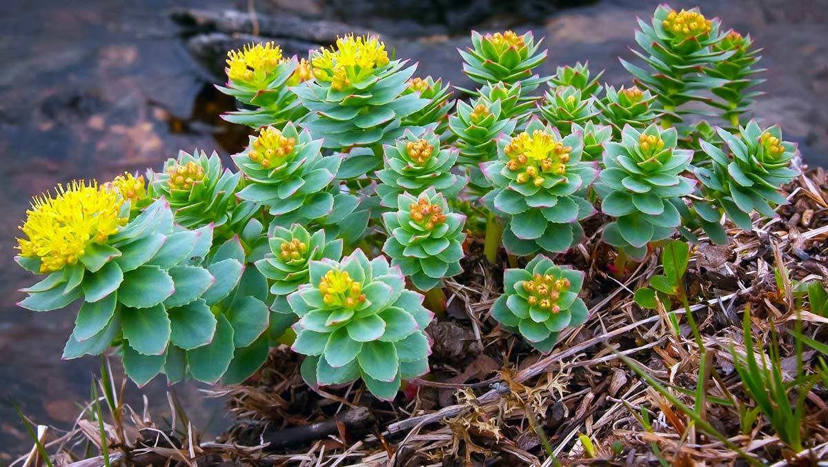 Rodiola, una pianta per migliorare l'umore.