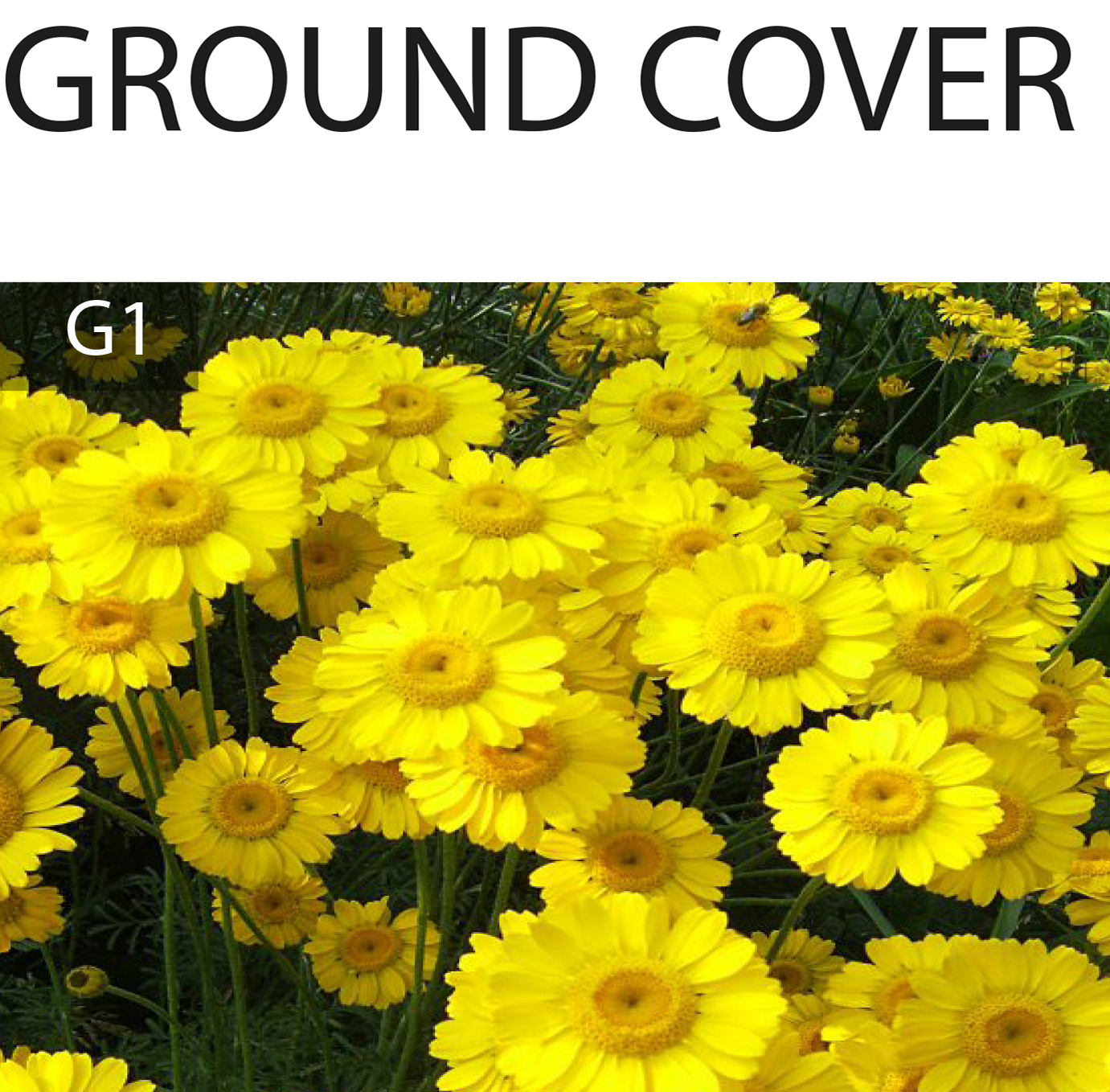 Ground cover options