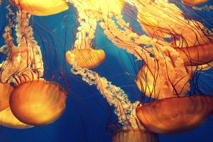 Jellyfish within the sea