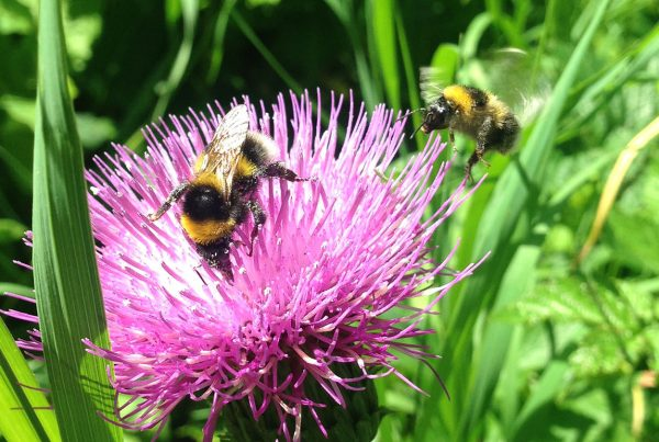 Bumblebees collecting nectar