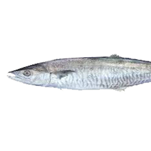 Fresh Tuna Small UAE 1pc