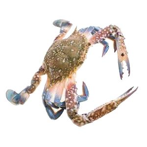 Special Grilled Fresh Blue Crab Female UAE 500g