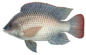 Thilapia 500g