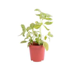 Basil Pot Local 1pot