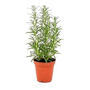 Rosemary Pot UAE 1pc