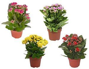 Indoor Plant Kalanchoe 1pc
