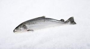Shaam Fish 500g