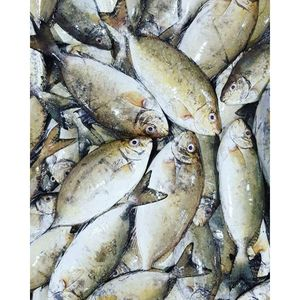 Wild Arabian Safi Fresh UAE 500g