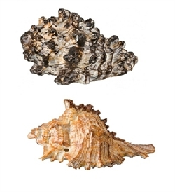 Trixie Assorted Conches 7-9cm