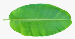 Banana Leaves India 1pc