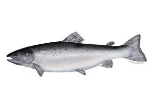 Salmon Fish 1kg