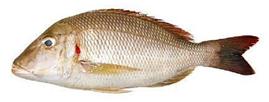 Shekhali Large 500g-1.5kg