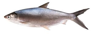 Milk Fish Big 500g