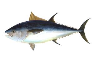 Tuna Big 500g