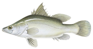 Nile Perch 500g