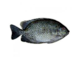 Seema Fish 500g