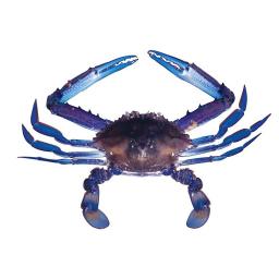 Blue Swimmimg Crab 500g