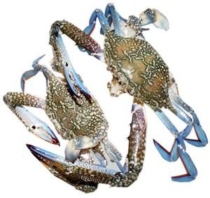 Crabs Blue 500g