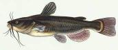 Cat Fish 500g