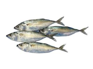Mackerel Big Eye 500g