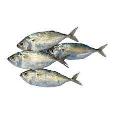 Mackerel Fish Small 500g