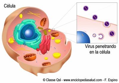 Infección de una célula por un virus