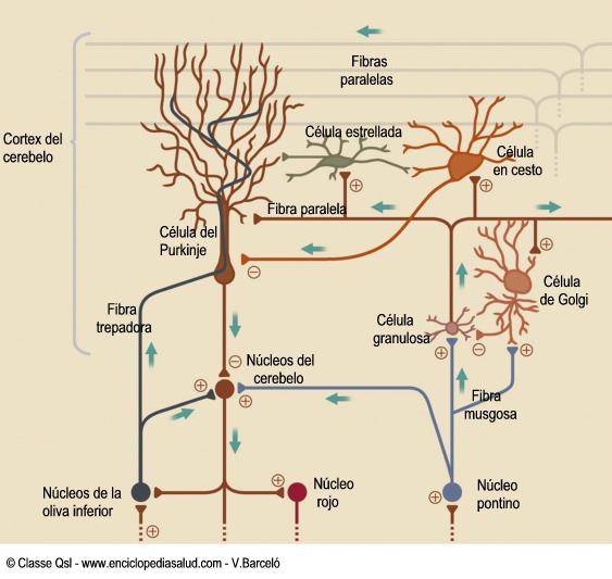 Neuronas y circuitos neuronales del cerebelo