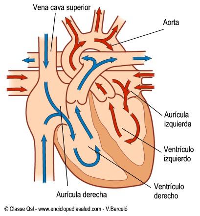 Circulacion sanguinea en el corazon