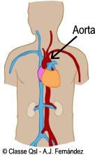 D aorta