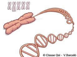 D cromosoma