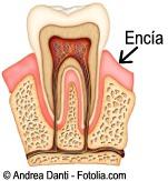 D diente