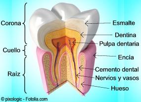D diente2