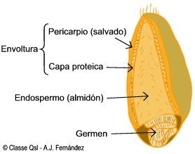 Enciclopedia salud definici n de cereal for Cual es el compuesto principal del marmol