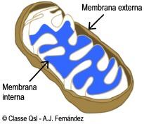 D mitocondria
