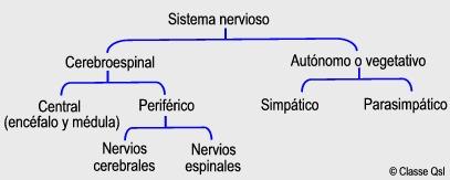 D sistemanervioso