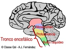 D troncoencefalico