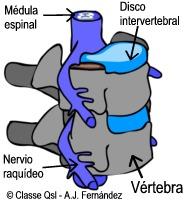 D vertebra